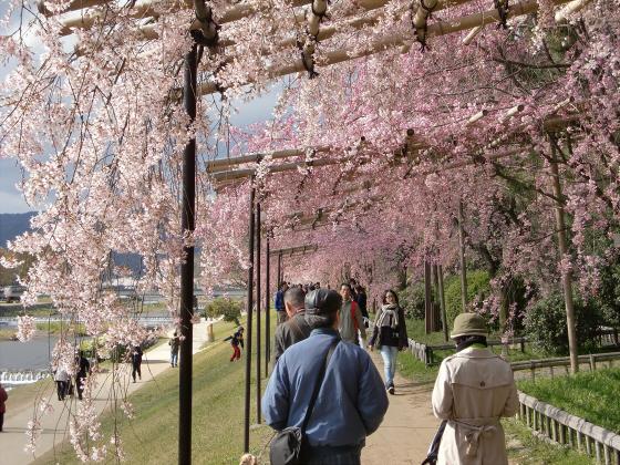 半木の道近辺の桜10