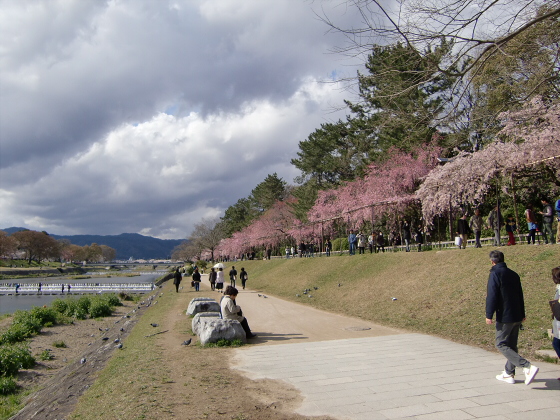 半木の道近辺の桜11