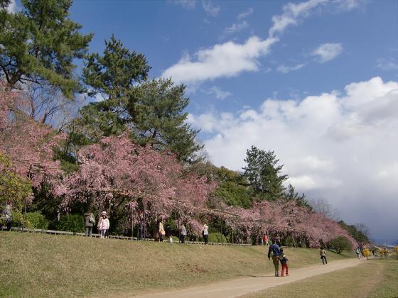 半木の道近辺の桜12