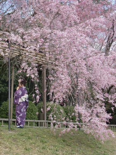 半木の道近辺の桜13