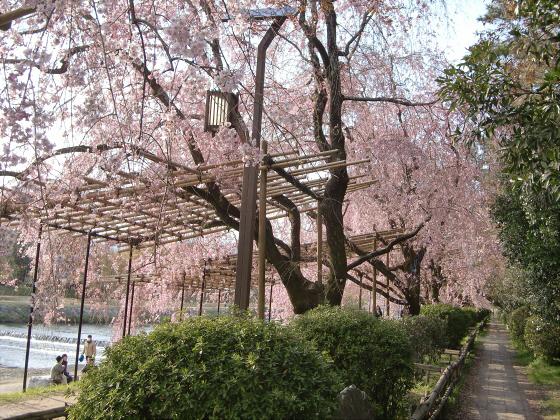 半木の道近辺の桜15
