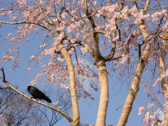半木の道近辺の桜19