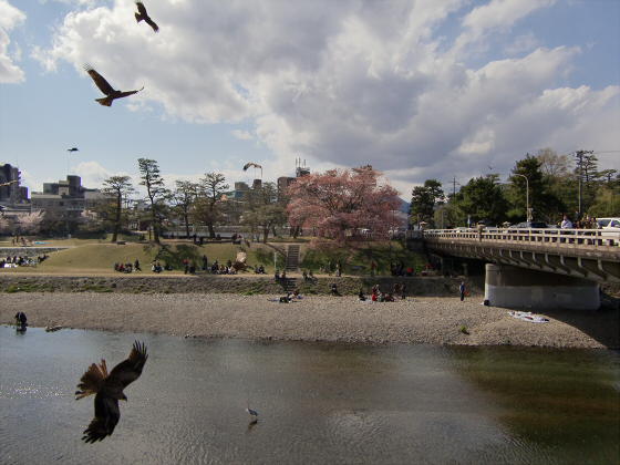 賀茂川の桜2014-02
