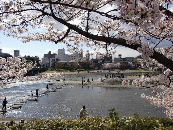 賀茂川の桜2014-05