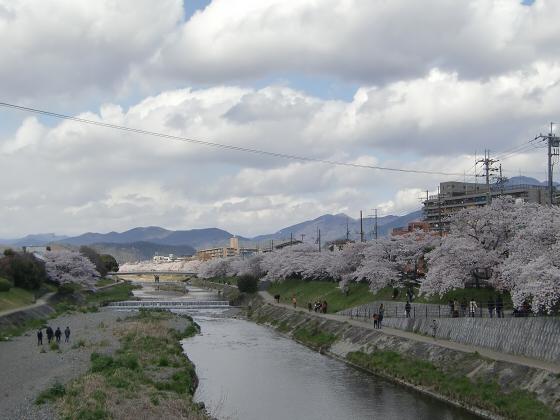 賀茂川の桜2014-06