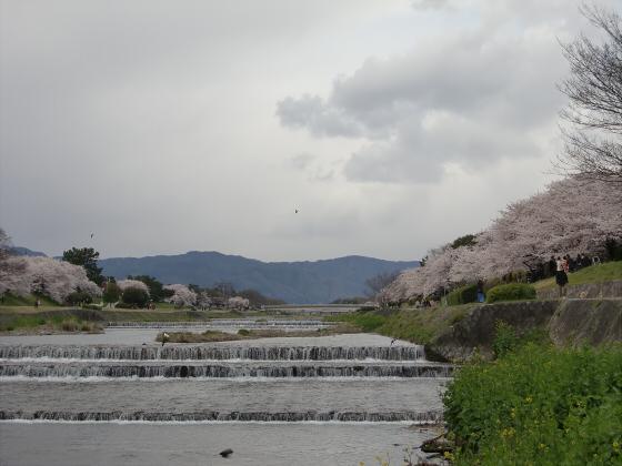 賀茂川の桜2014-09