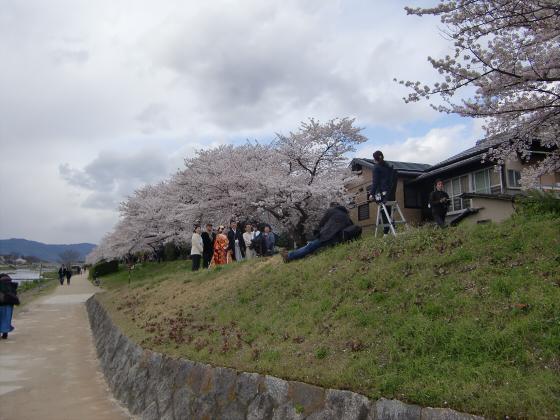 賀茂川の桜2014-10