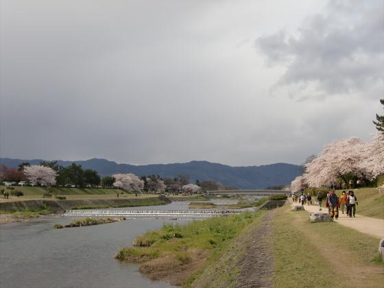 賀茂川の桜2014-11