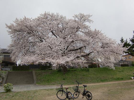 賀茂川の桜2014-15
