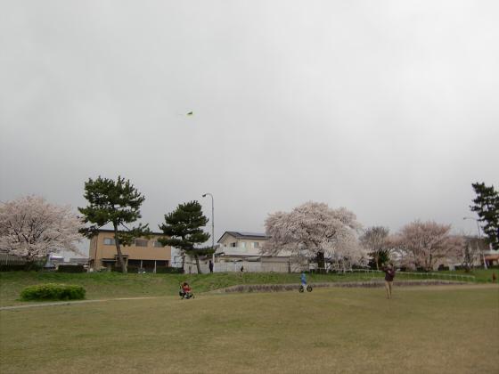 賀茂川の桜2014-16