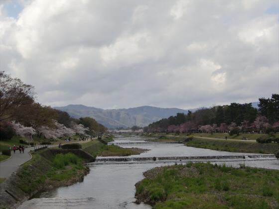賀茂川の桜2014-17