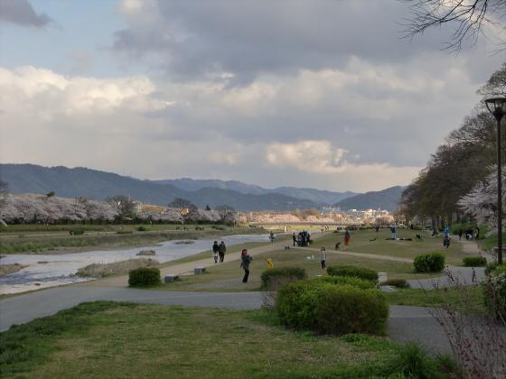 賀茂川の桜2014-19