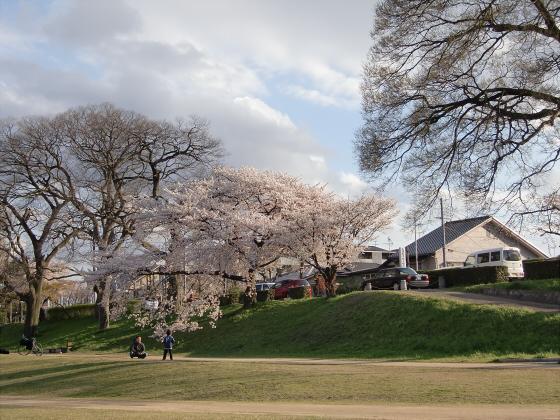 賀茂川の桜2014-20