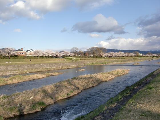 賀茂川の桜2014-22