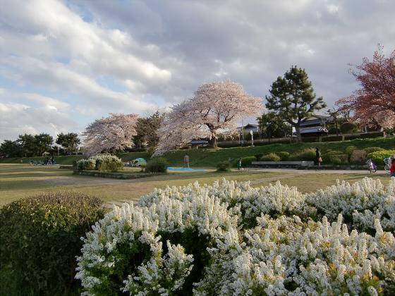 賀茂川の桜2014-25