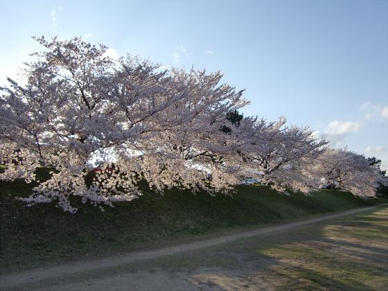 賀茂川の桜2014-26