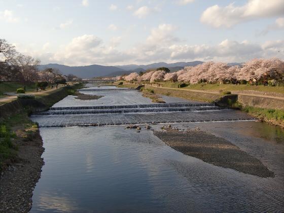 賀茂川の桜2014-27