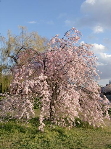 賀茂川の桜2014-29