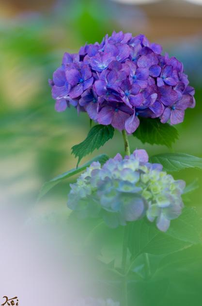 20140614紫陽花_能護寺03