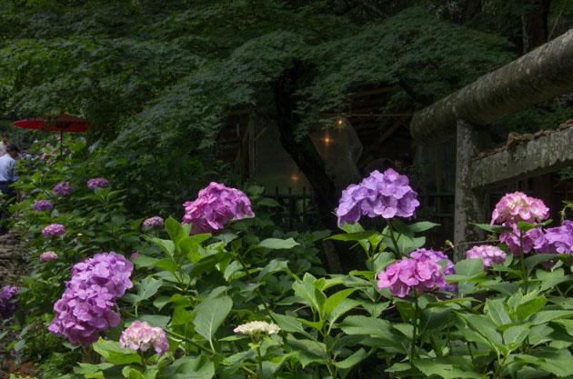 20140629紫陽花_太平山11