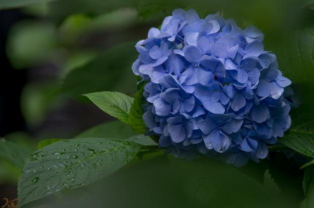 20140629紫陽花_太平山06