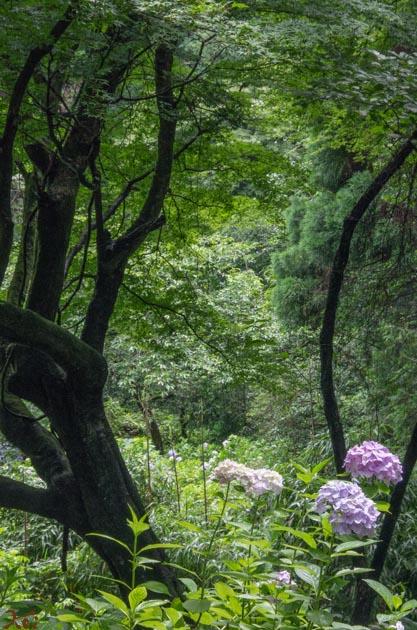 20140629紫陽花_太平山08