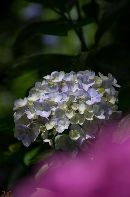 20140629紫陽花_太平山09