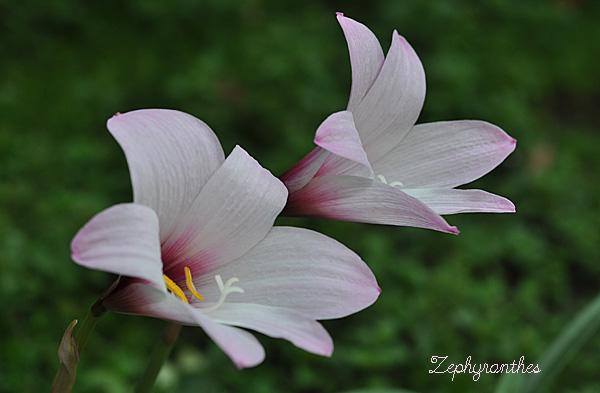 zephyranthea2014a