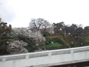 2014 3月30日 皇居周辺さくら