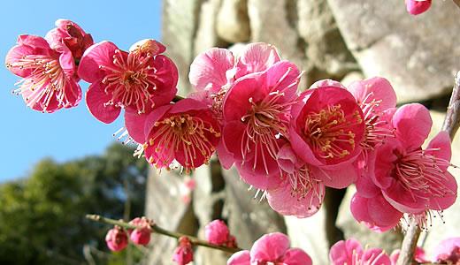 摂津岡本梅まつり2014(2)-1