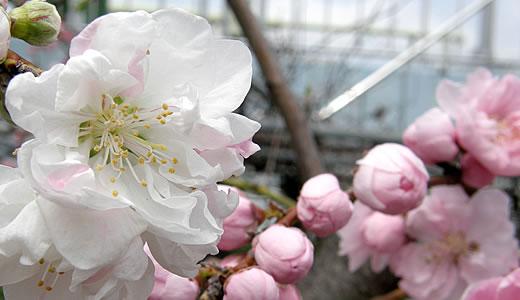 第11回アーモンド並木と春の音楽会-4