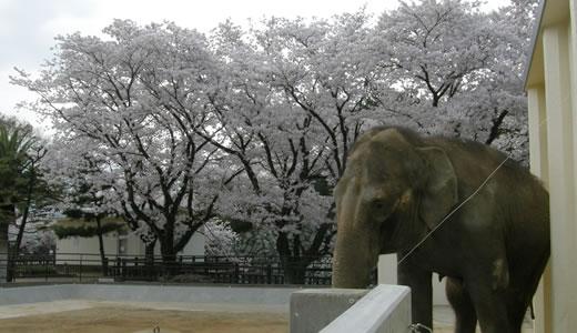 姫路城観桜会(3)-1