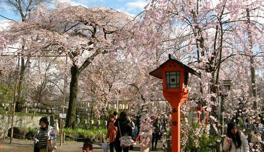 嵐電沿線の桜2014@京都(3)-5