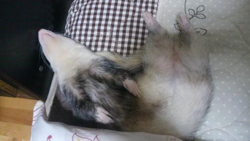 枕の横でひっくり返って寝んねのマルコ