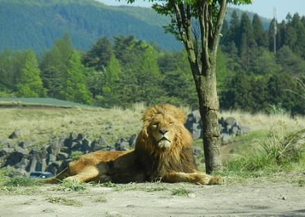 アフリカンサファリライオン