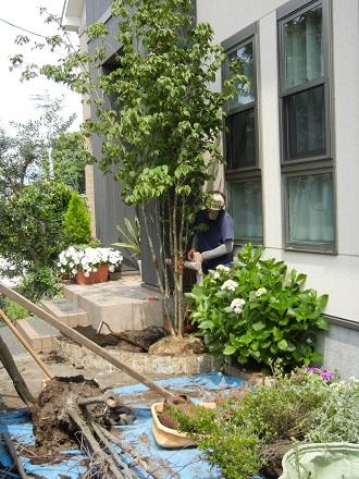 ヤマボウシ植え替え作業