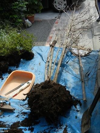 枯れたヤマボウシの根