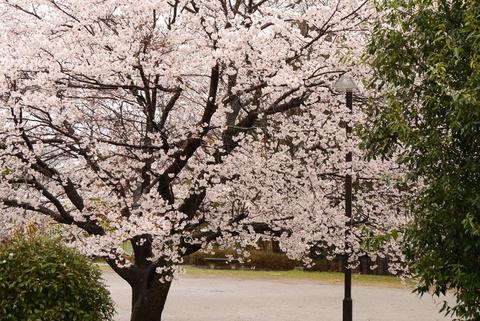 桜だよ~♪1