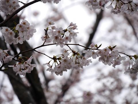 桜だよ~♪2