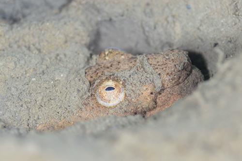 ムラサキウミヘビ