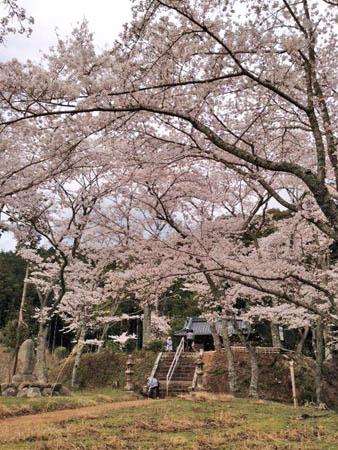 桜2014.4