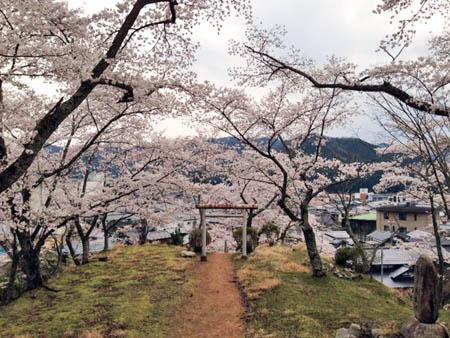 桜2014.4②
