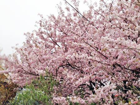 八重桜2014