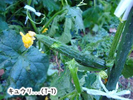 キュウリ2014.6.12②