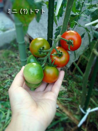 ミニトマト2014.7.20