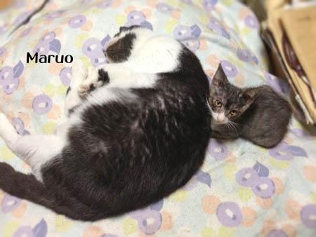 まるおと子猫2014.8.20