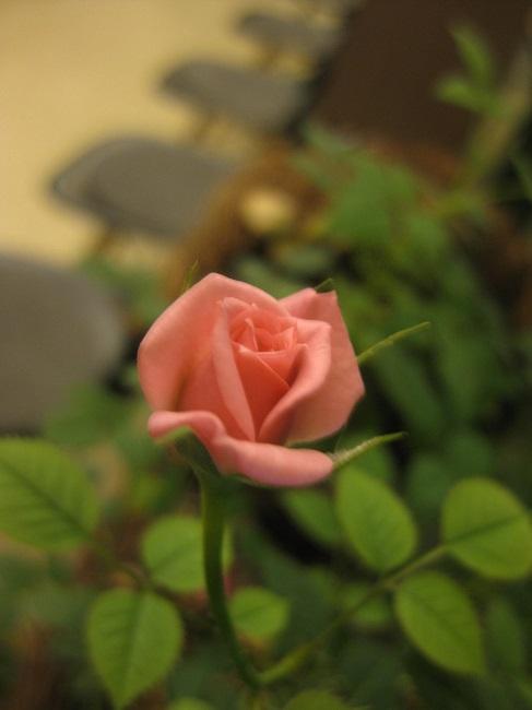 待合室のバラ