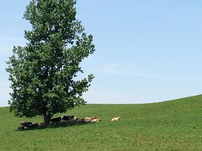 美瑛放牧酪農場