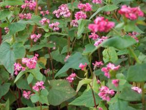 ピンク色のそばの花