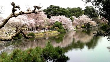 街中桜2014-02